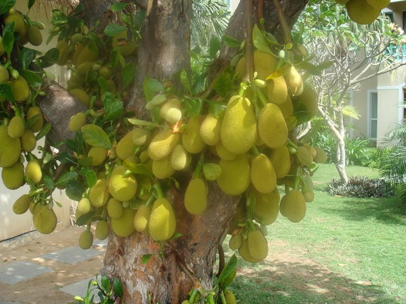 Плоды вернее соплодия хлебного дерева