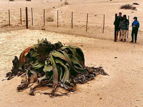 welwitschia_5
